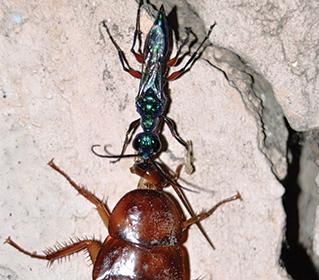 Wasp venom