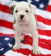 616_dog_flag.jpg