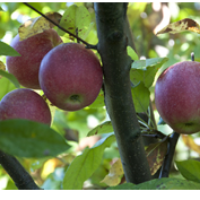Hirst Apples