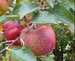 Purdue apples
