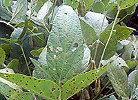 Frogeye Leaf Spot of Soybean