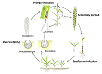 New Ed Center Plant Disease Lesson on Septoria nodorum blotch available