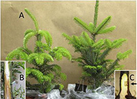 Scientists Accidentally discover a New Water Mold Threatening Christmas Trees.