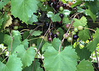 New Plant Health Progress survey confirms muscadine grapes are affected by parasitic nematodes.