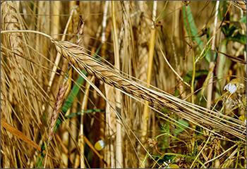 Whole Grain Definition