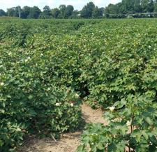 CottonReplantDecisionsSMALL(1).jpg